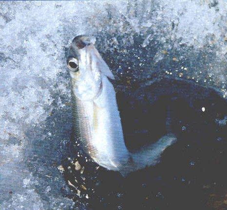 подледная рыбалка на омуля