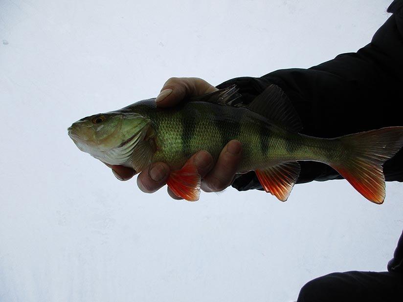 подледная рыбалка красноперка